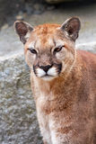 Mountain Lion Cougar Puma Concolor Looking Royalty Free Stock Photography