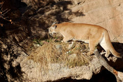 Mountain lion or cougar in Rocky Mountains Royalty Free Stock Photography