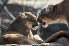 Mountain lion couple Stock Photography