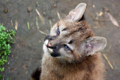 Mountain lion cub Stock Images