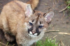 Mountain lion cub Stock Photo