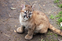 Mountain lion cub Royalty Free Stock Photo