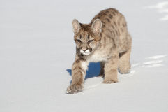 Mountain Lion Cub Royalty Free Stock Photos