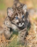 Mountain lion cub Royalty Free Stock Image