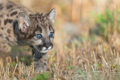 Mountain lion cub hunting Stock Photo