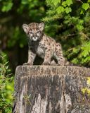 Mountain lion cub Royalty Free Stock Images