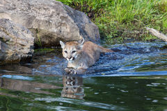 Mountain lion cub swimming. In water royalty free stock image
