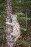 Mountain Lion Cub Up a Tree royalty free stock photos