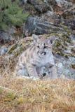 Mountain Lion Cub royalty free stock photo