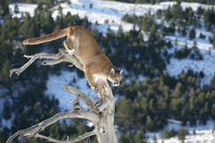Mountain Lion in dead tree. Mountain lion or Puma jumping from dead tree in rocky mountains royalty free stock photos