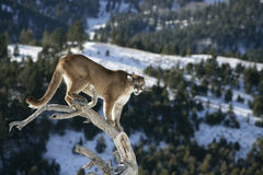 Mountain Lion in dead tree Stock Images