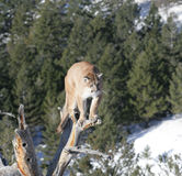 Mountain Lion in dead tree Royalty Free Stock Photo