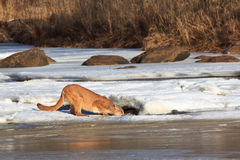 Mountain lion drinking water through a hold in the ice Royalty Free Stock Images