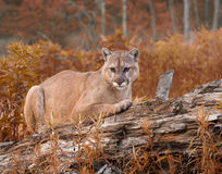 Mountain Lion in Fall Foliage Stock Photography