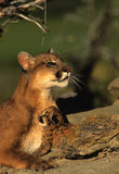 Mountain Lion Female with Kitten. Female mountain lion with her kitten snuggled against her Royalty Free Stock Images