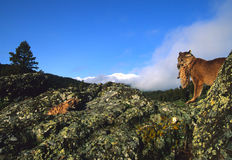Mountain Lion Female/Kittens Stock Image