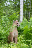 Mountain lion in fern plants. Mountain lion sitting in fern plants Stock Image