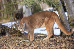 Mountain lion in forest. With long tail royalty free stock images