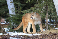 Mountain lion in forest Royalty Free Stock Photo