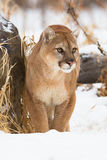 Mountain lion front portrait Royalty Free Stock Image