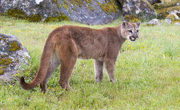 Mountain lion on grass with lichen covered rocks Royalty Free Stock Image