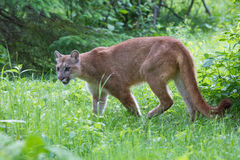 Mountain lion in green forest Stock Photo