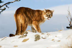 Mountain Lion Growling Stock Photography