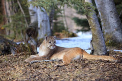 Mountain lion by his den site Royalty Free Stock Photo