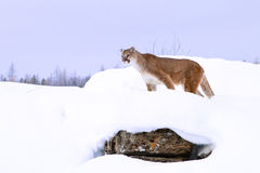 Mountain lion hunting in deep snow Royalty Free Stock Images