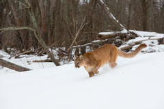 Mountain lion hunting in snow Royalty Free Stock Image