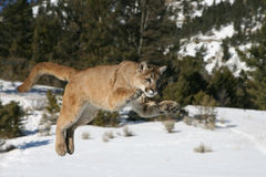 Mountain Lion Jumping Stock Photography