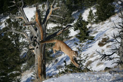 Mountain Lion Jumping from a Dead tree Royalty Free Stock Photo