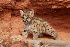 Mountain Lion Kitten. With blue eyes standing in front of red rock alcove Stock Photography
