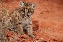 Mountain Lion Kitten. With blue eyes sitting on red rocks in front of red rock alcove Stock Photos