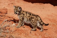 Mountain Lion Kitten. Standing on red rocky slope Stock Image