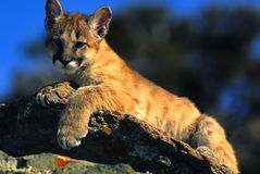 Mountain Lion Kitten on Rock Stock Photos