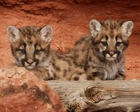 Mountain Lion Kittens. Two mountain lion kittens with blue eyes looking out from behind red rock and old log Royalty Free Stock Photos