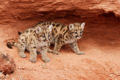 Mountain Lion Kittens. Two mountain lion kittens with blue eyes looking out from red rock alcove Stock Images