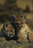 Mountain Lion Kittens Royalty Free Stock Photos