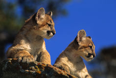 Mountain Lion Kittens on Rock. Two cute mountain lion kittens laying side by side on a rock Royalty Free Stock Photos