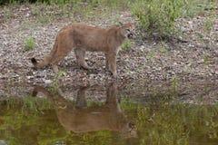 Mountain lion by lakeside Stock Photos