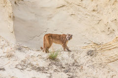 Mountain lion landscape in canyon Stock Photo