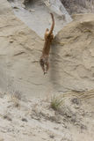 Mountain lion leaping of tall ridge Stock Photos