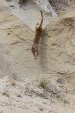 Mountain lion leaping of tall ridge. Mountain lion leaping down ridge Stock Photos