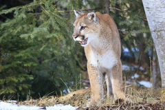 Mountain lion leaving his den site Royalty Free Stock Photo