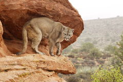 Mountain Lion on Ledge. Adult mountain lion standing on red sandstone ledge with distant hill in backgound Royalty Free Stock Photo