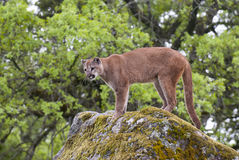 Mountain lion on lichen covered rocks with green trees Stock Images