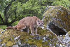 Mountain lion on  lichen covered rocks Royalty Free Stock Photography