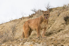 Mountain lion licking his chops. Mountain lion looking down canyon draw in Arizona while licking his chops stock photos