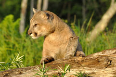 Mountain Lion lies on a log waiting. Stock Photography